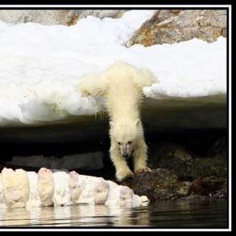 PolarBearCub14