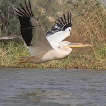 White pelicans and white-breasted cormorants, Djoudj N.P.