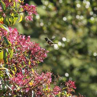 hummingbird nr. Savegre Lodge
