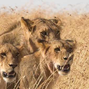 Three headed monster - Masai Mara