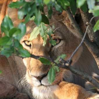 Lioness peering through foliage