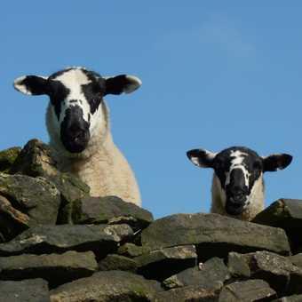 Derbyshire lambs