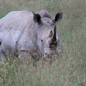 White Rhino - Lake Nakuru N.P.