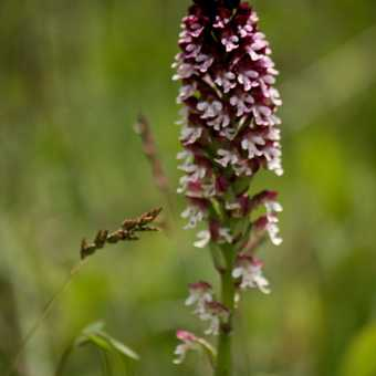 Flowers - Burnt Orchid