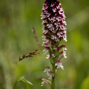 Flowers - Burnt Orchid