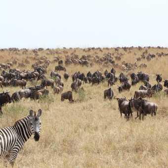 Zebra & Wilder beast, Masai Mara