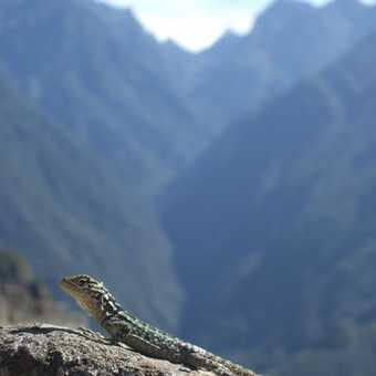 Resident of Macchu Picchu