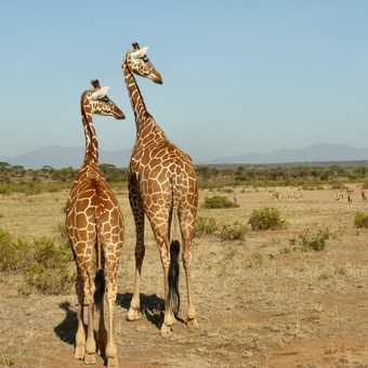 Reticulated Giraffe and Oryx