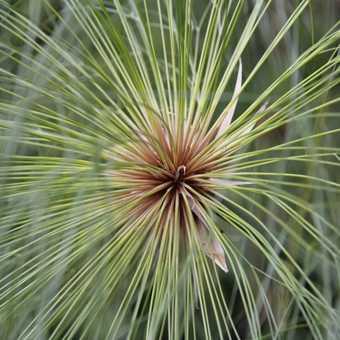Botanic Garden in Funchal - Papyrus