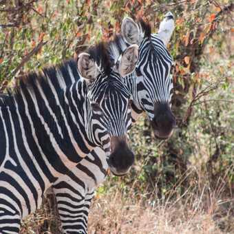 Zebras on the Mara