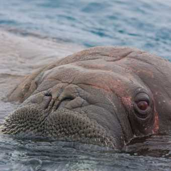 Walrus Close Encounter