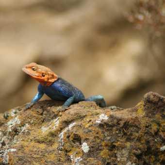 Lizard, Lake Nakuru NP