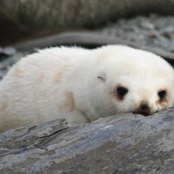Antarctic fur seal pup