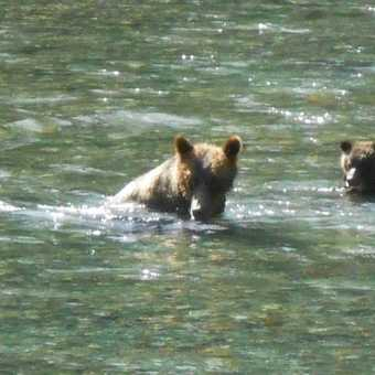 Grizzly mother and cub 2