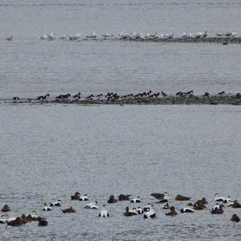 Gulls, Oyster Catchers and Eiders