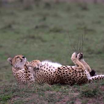 Playful Cheetah