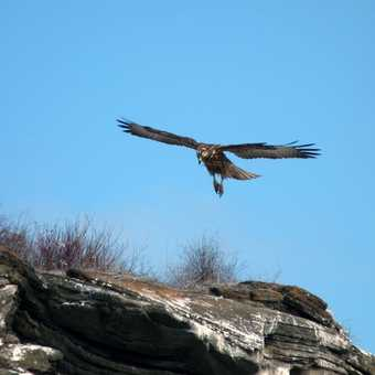 The Galapagos hawk comes in for a landing at Puerto Egas Santiago (James) Island.