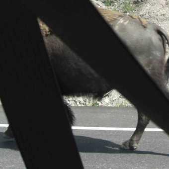 Bison wearing seat belt (Yellowstone NP)