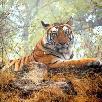 Misty tiger