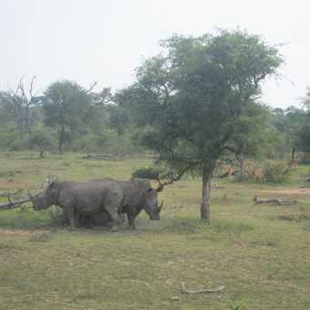 White Horn Rhino