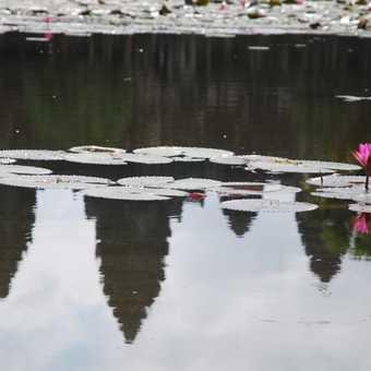 Flower Angkor reflection