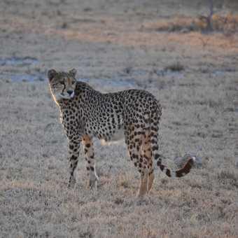 Cheeta - Nxai Pan National Park