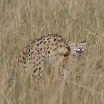 Serval being harrassed by cheetah cubs