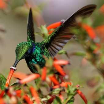 Green Violet-ear Hummingbird in flight, hotel gardens at Savegre