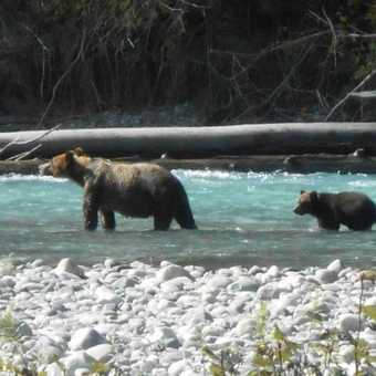Grizzly mother and cub 3