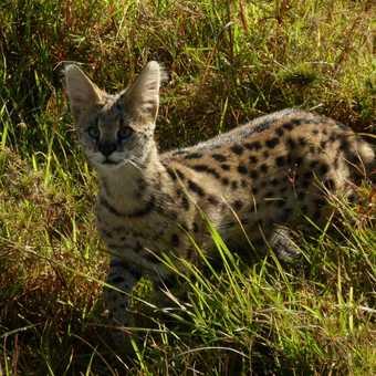 Serval surprise