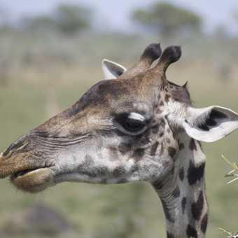 Giraffe on Serengeti Plain