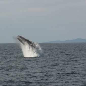 Sperm whale breach 1
