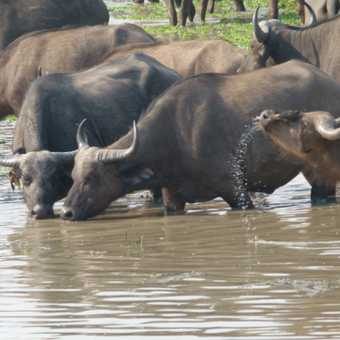 spa experience for water buffalo