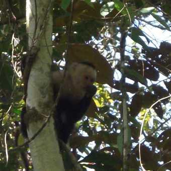 Manuel Antonio National Park - Capuchin Monkey