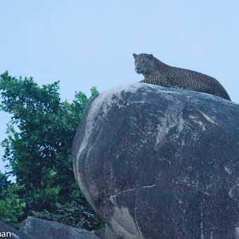 Leopard on Rock