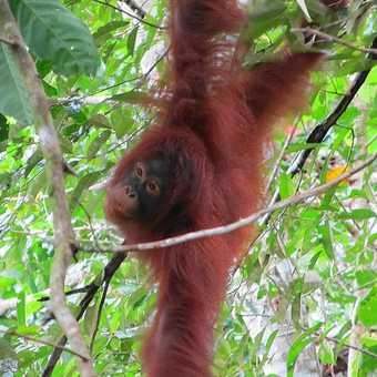 Orangutan In Flight