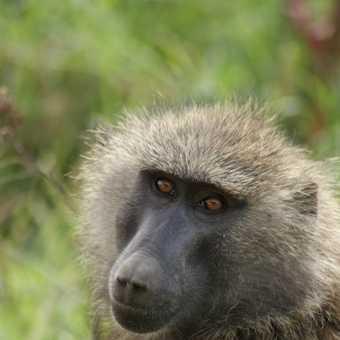 Baboon - Lake Nakuru National Park