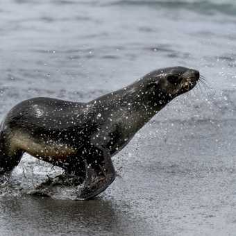 Fur Seal with Spume