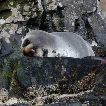 Singing Elephant Seals