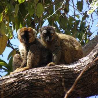 Lemur couple