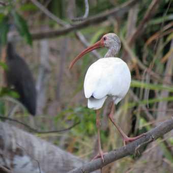 White Ibis - near Tarcoles