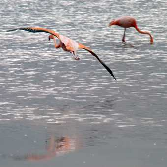 Caught a flamingoe flying across the brackish lagoon on Floreana Island