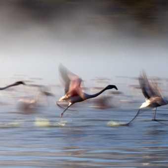 Flamingo Race