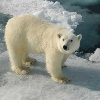 bear 16