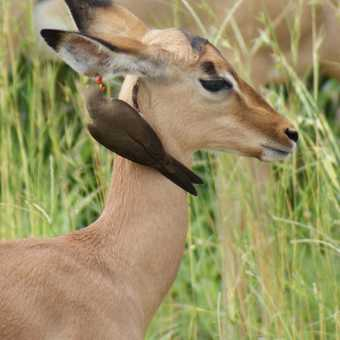Red Billed Oxpecker and Impala