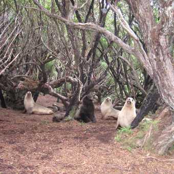 AUkland Isle : NZ Fur Seals in Rata forest