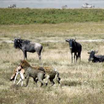 We were fortunate enough to see a Hyena chase and kill a baby Wilderbeest