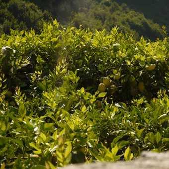 Walking through the lemon groves