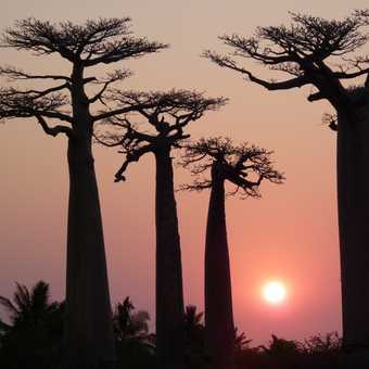 Sunset at the Alley of the Baobabs