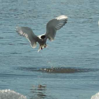 Tern with dinner